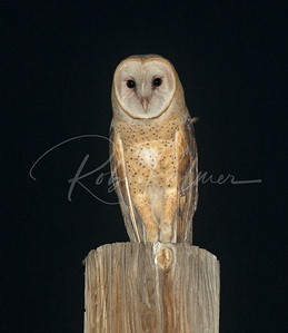 Young Barn Owl on a telephone pole