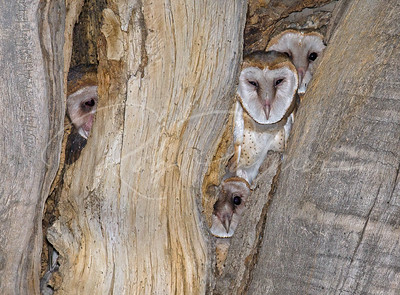 Four young owls in the nest hole