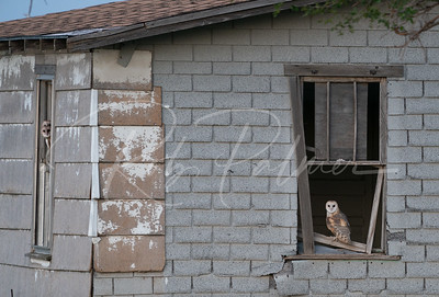Three young barn owls