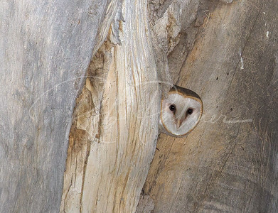 Adult barn owl in nest hole .