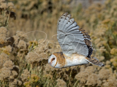 Barn Owl (captive) in fight