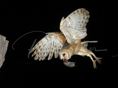 Adult Barn Owl bringing in a vole