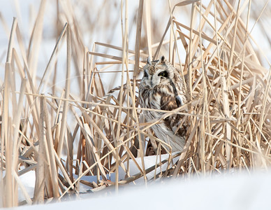 Short eared owl hiding in the grass