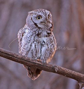 Male Screech Owl early morning