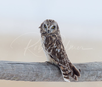 Short Eared Owl on a fence post