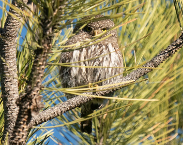 Pygmy Owl peeking through the pine needles