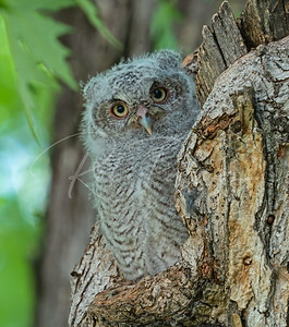 Young screech owl just about to leave the nest hole