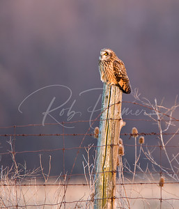 Short Eared Owl on a post