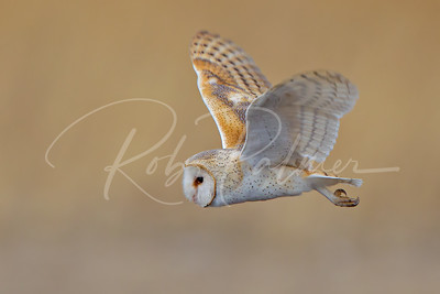 Barn Owl soft background