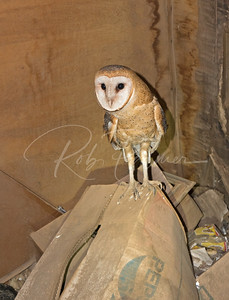 Barn owl in abandoned farm house