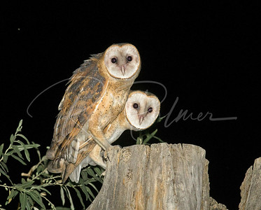 Two Fledgling Barn Owls