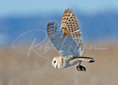 Barn Owl with a mouse