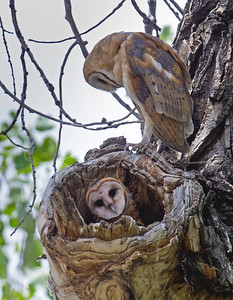 Two nearly fledged barn owls.