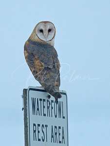 Barn Owl on a sign.