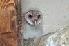 Barn Owlet in abandoned farm house cabinet