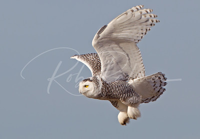 Young Snowy Owl taking off