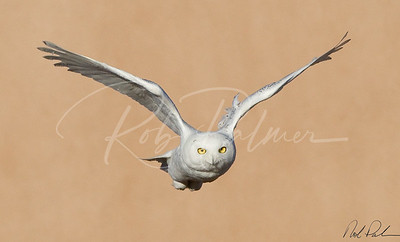 Snowy Owl incoming 0361
