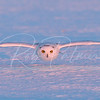 Snowy Owl incoming just before sunset