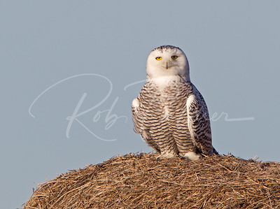 Snowy Owl on a hay bale