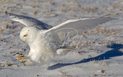 Snowy Owl on the attack II