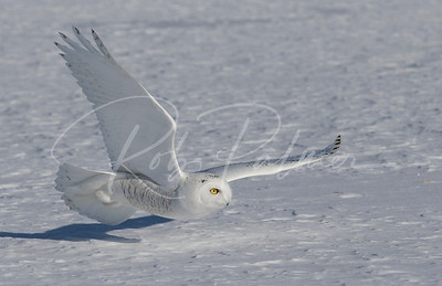 Snowy Owl flying low to the snow.