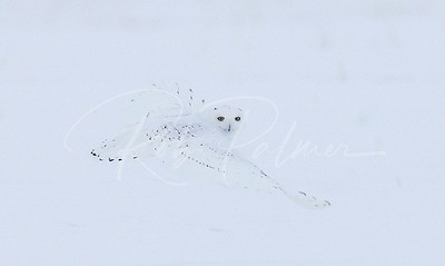 White on White, Snowy Owl Look back