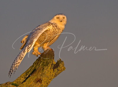 Snowy Owl Stretching
