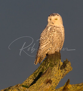 Snowy Owl on driftwood at sunset