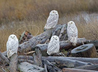 A group of snowy owls