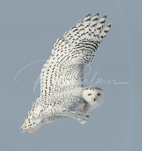 Adult Female Snowy Owl