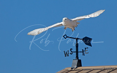 "Snowy Owl Heading South ""Really"" 0293"