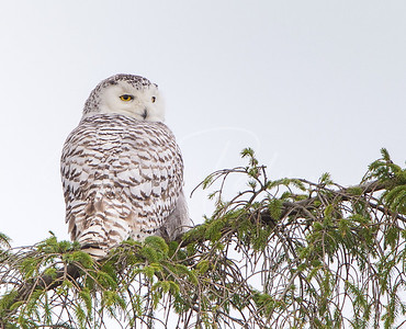 Snowy Owl in an Evergreen