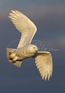 Adult Male Snowy Owl
