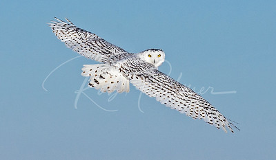 Snowy Owl Look back.