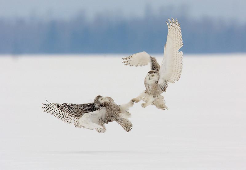 Snowy Owls Fighting. John Chapman.