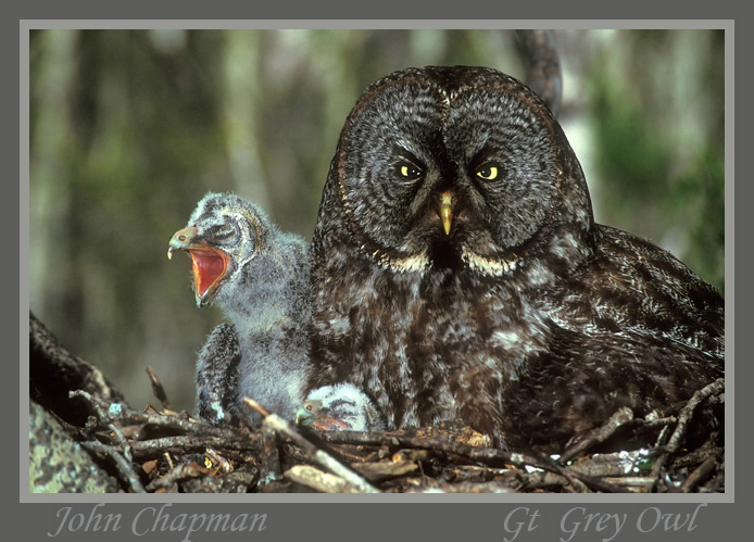 Great Grey Owl with chicks Canada.