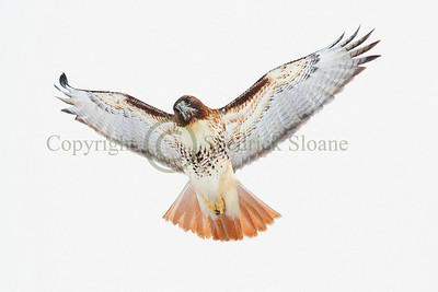 110800 Rough Legged Hawk