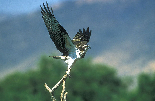 Osprey Oman. John Chapman.