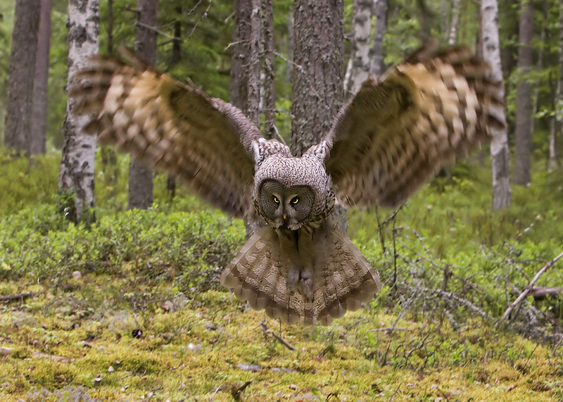 Great Grey Owl blurred wings.John Chapman.