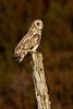 Short-eared Owl. Female. John Chapman.