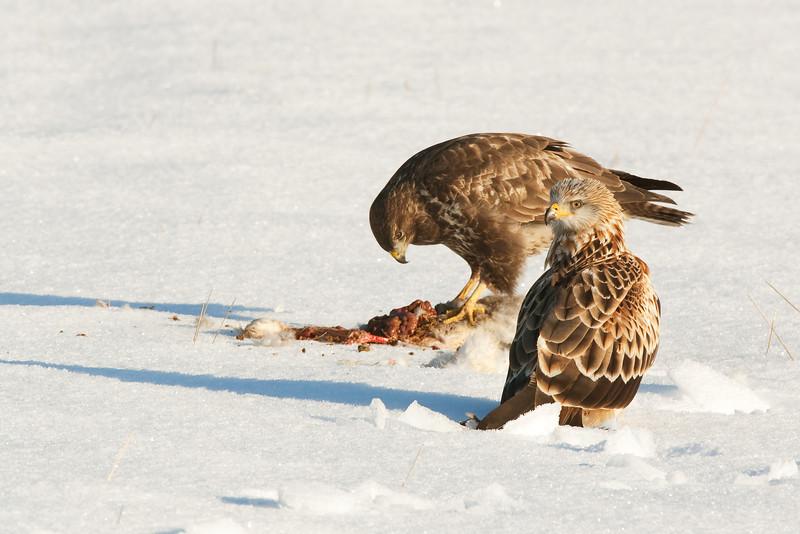 Buzzard eating with a Red Kite watching .John Chapman.