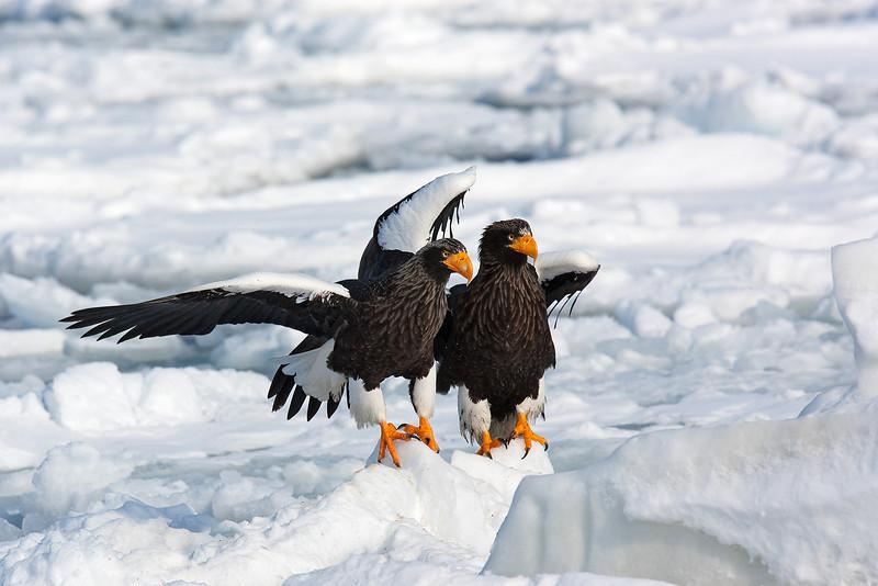 Steller's Eagles.