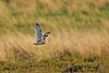 Short-eared Owl. Female.