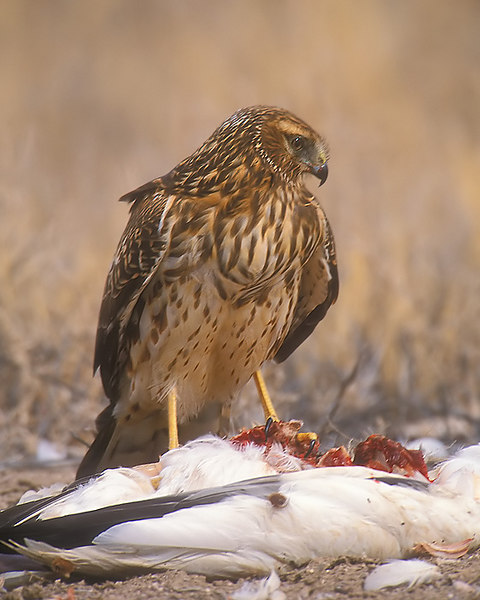 Female Hen Harrier on dead Snow Goose. John Chapman.