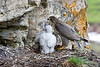Gyr Falcon with Chicks. On an old Golden Eagles Eyrie. John Chapman.
