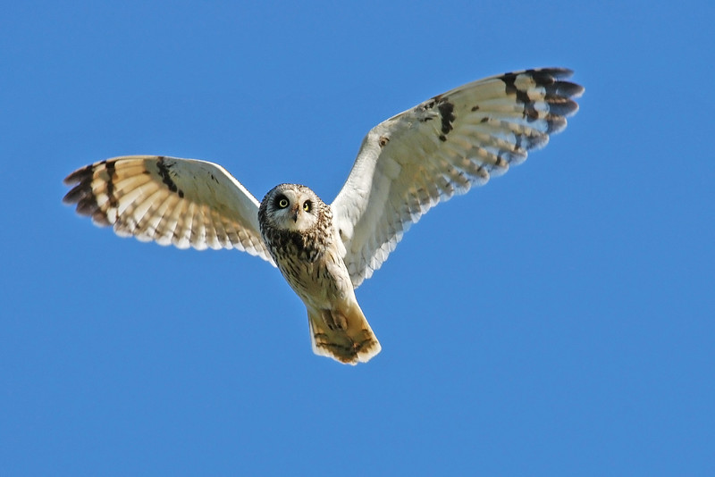 Short eared Owl in Flight. John Chapman.