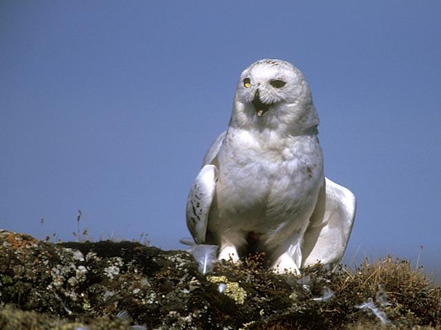 Snowy Owl Joehavn. Arctic Canada.