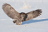 Great Grey Owl no cropping. John Chapman.