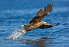 White Tail Sea Eagle with fish. John Chapman.