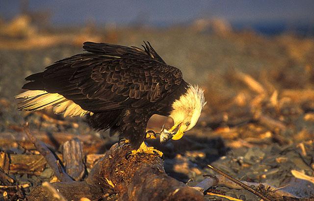 Bald Eagle. Homer. Alaska. John Chapman.